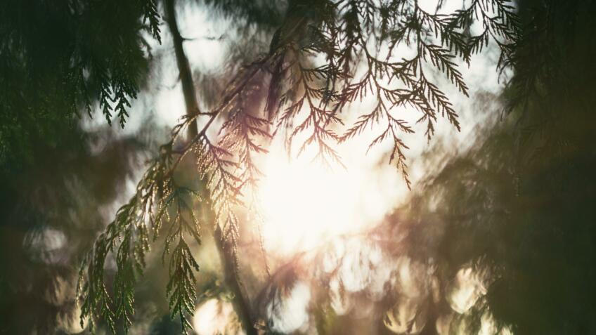 Benefits of Cedar Wood Oil for the Hair