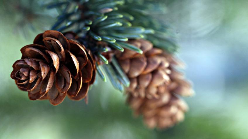 Fir Balsam & Pine