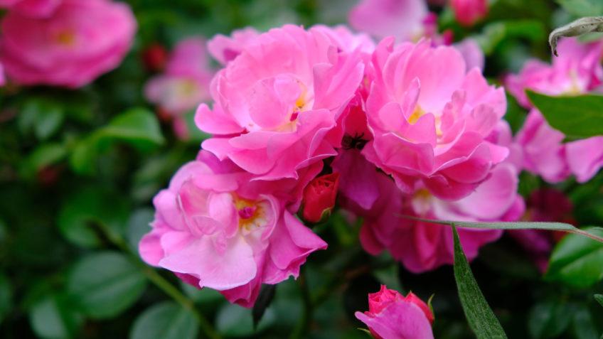 Turkish Rose